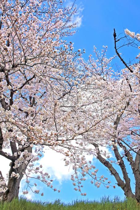 青空に咲く桜と春の若草(桜 風景の画像)
