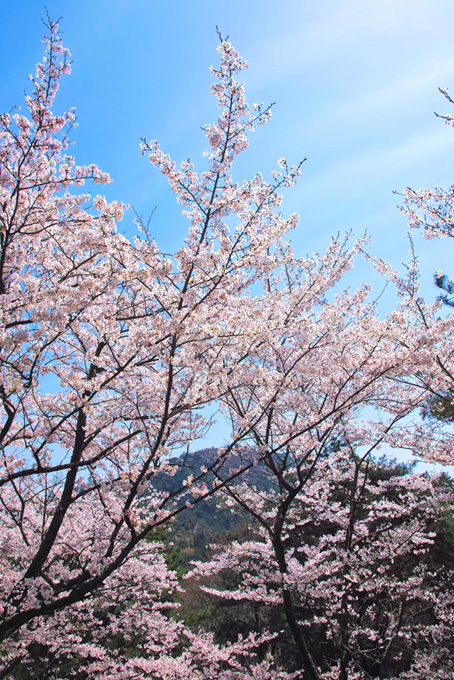 春の山に花咲く桜の木(桜 風景の画像)