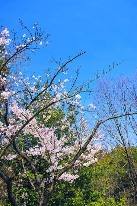 桜の花と枝先のつぼみ(桜 開花の画像)