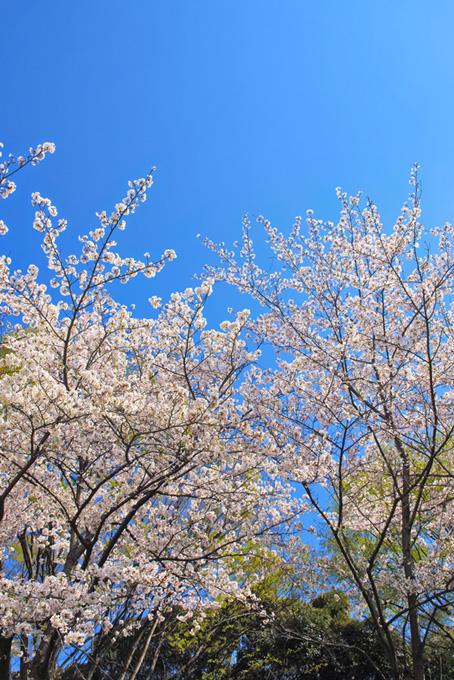 澄み切った空に伸びる桜(桜 風景の画像)