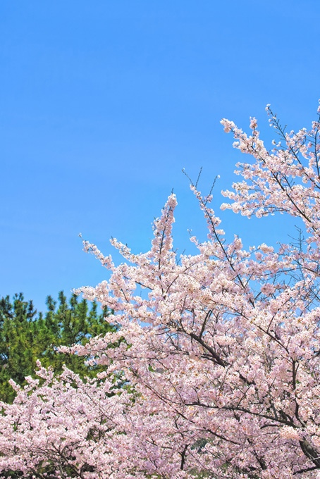 春の桜と青空の穏やかな風景(桜 風景の画像)