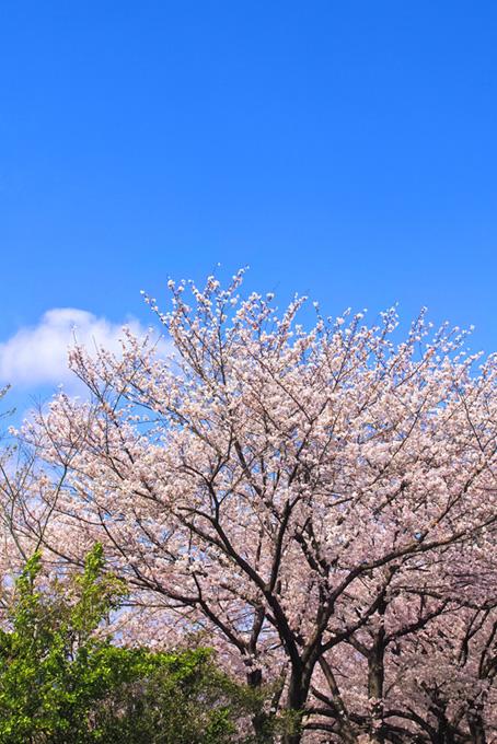 青空の下の桜と緑(桜 風景の画像)