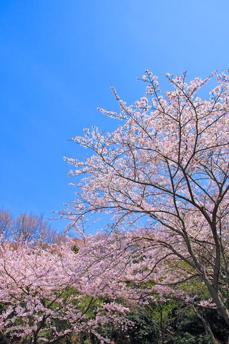さくらの花咲く日本の春(桜 風景の画像)