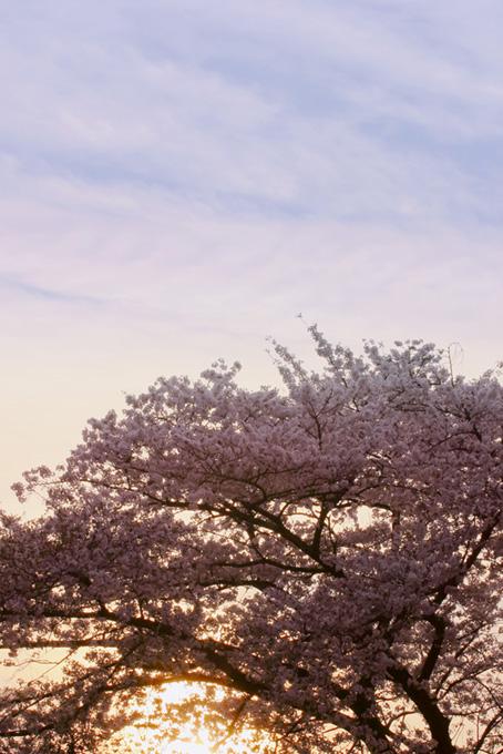 朝日と桜(桜 かっこいいの画像)