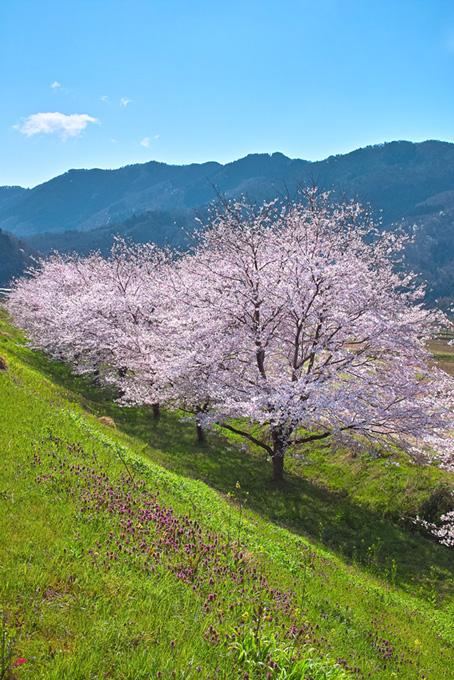 春の土手に咲く桜と遠くの山(桜 風景の画像)
