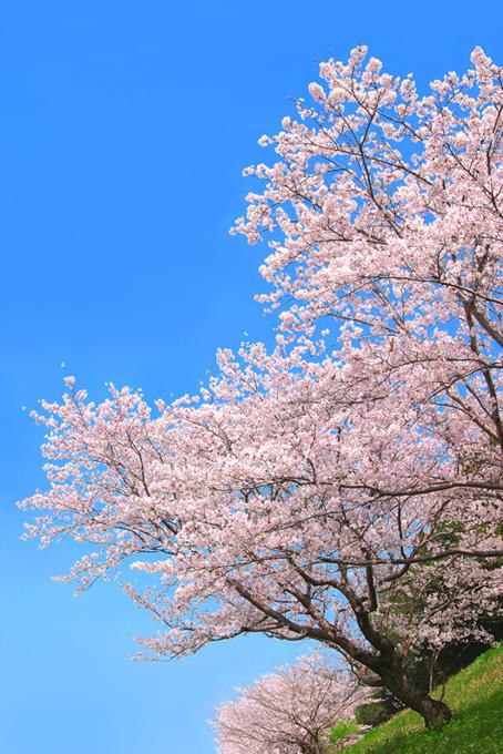 美しい桜と雲一つない青空(桜 風景の画像)