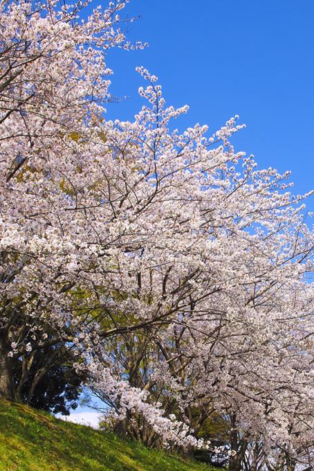 美しい染井吉野の桜景色(桜 風景の画像)