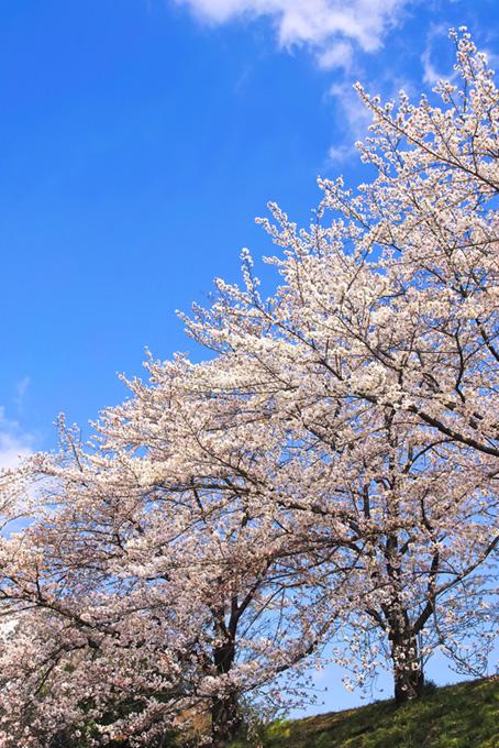 見上げる空と桜並木(桜 風景の画像)