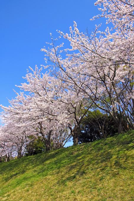 若草の土手に咲く桜と空(桜 風景の画像)