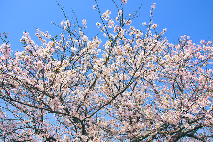 薄いピンクの桜(桜 枝の背景フリー画像)