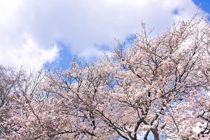 薄いピンクの桜と大きな雲(桜 雲の画像)