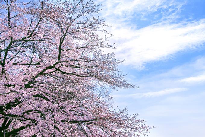 薄いピンクの桜(桜並木の背景フリー画像)