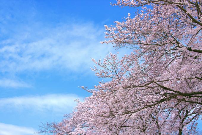 美しい染井吉野(桜 写真の画像)