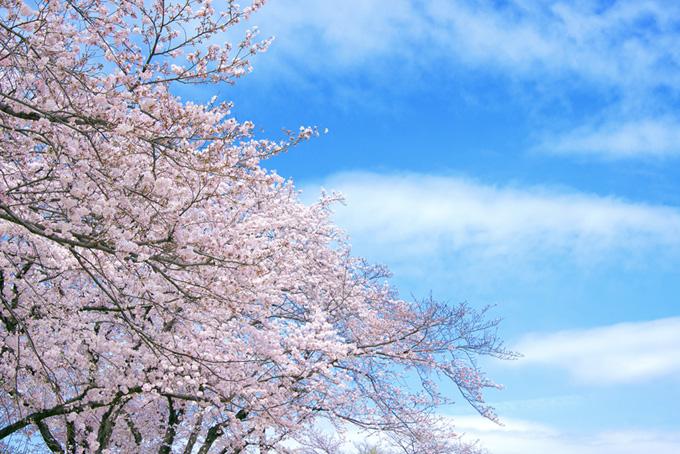 春の桜景色の写真(桜 写真の画像)