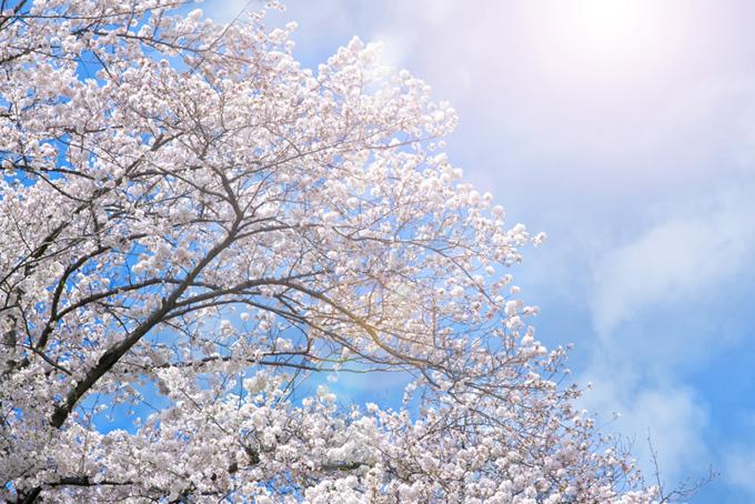 太陽とソメイヨシノの桜景色(桜 太陽の画像)
