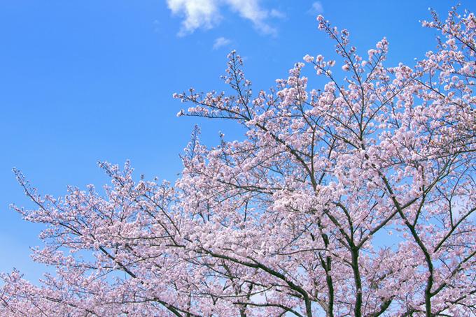 春の桜景色(桜 春空の背景フリー画像)