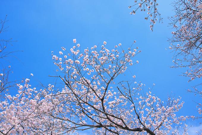 春の桜景色(桜並木の背景フリー画像)