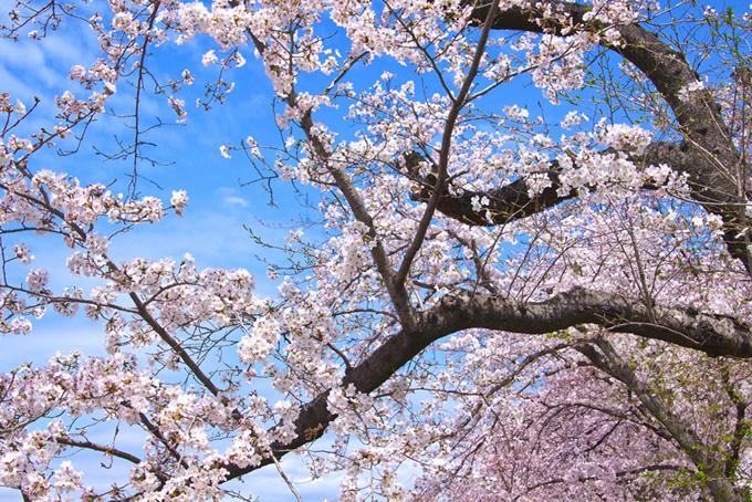 桜木と空のかっこいい和風背景(桜 壁紙の画像)