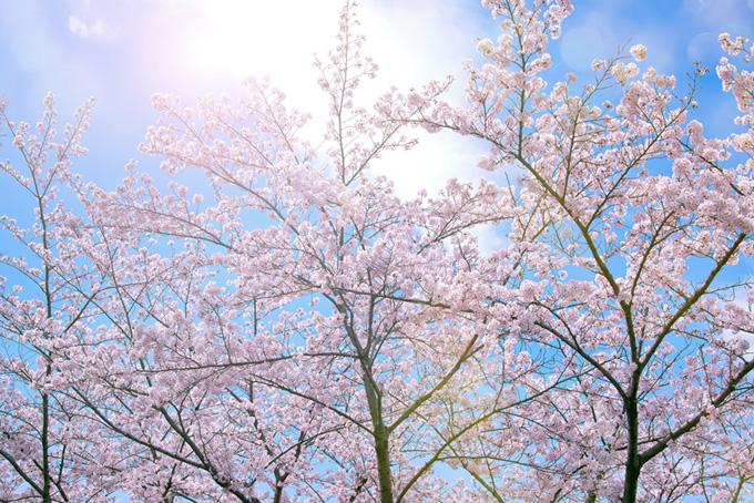 花開く桜と輝く空(桜 太陽の画像)
