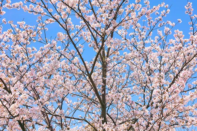 かわいい花を付けたサクラ(桜 壁紙の画像)