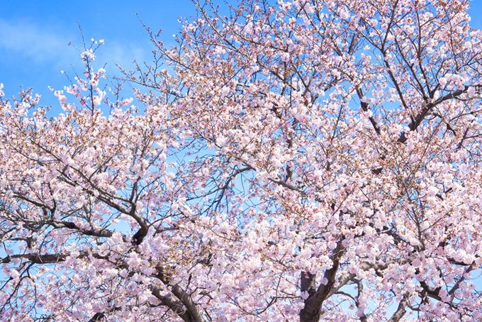 ピンクの桜のおしゃれな背景(桜 壁紙の画像)