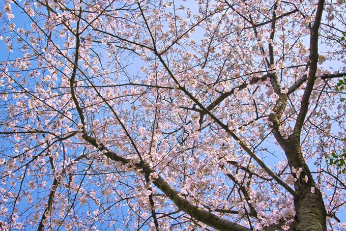 花が咲く枝を空に広げる桜(桜 壁紙の画像)
