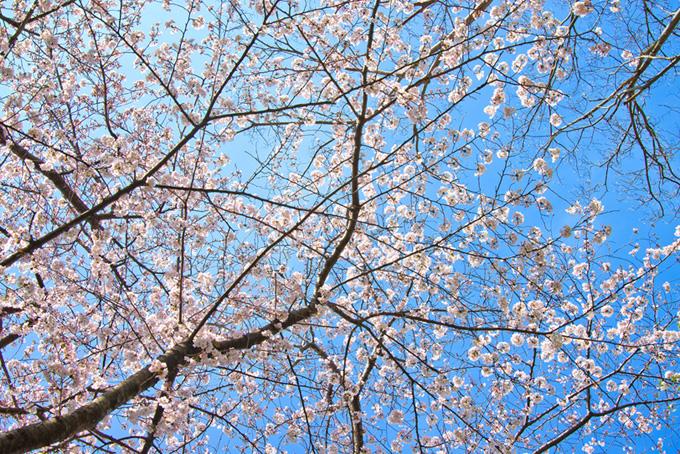 空一面の花咲く桜の枝(桜 壁紙の画像)