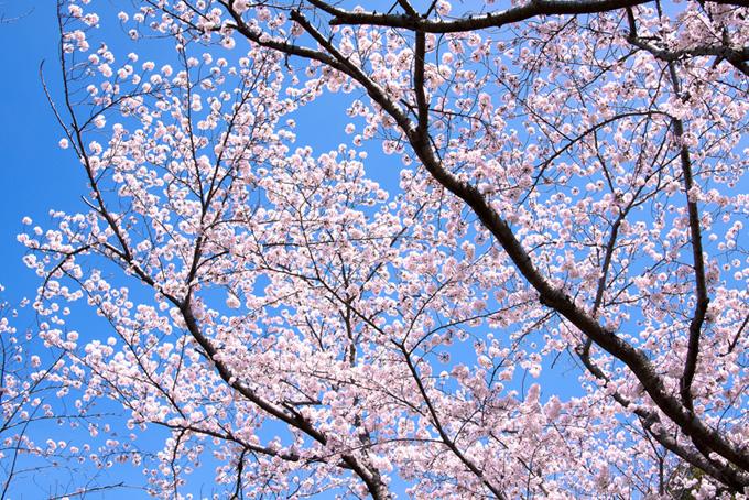 青空に映える可愛い桜の花(桜 壁紙の画像)