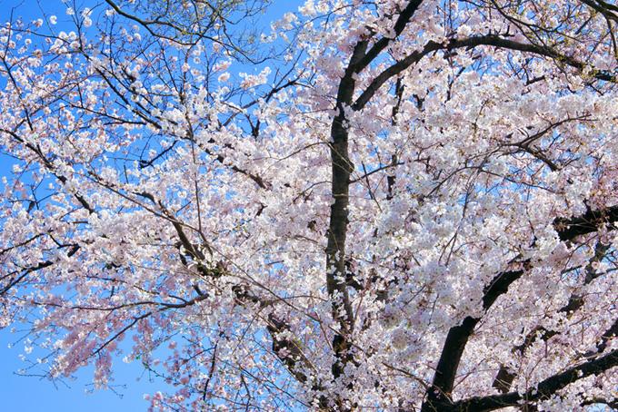 清らかな桜と青の背景(桜 壁紙の画像)