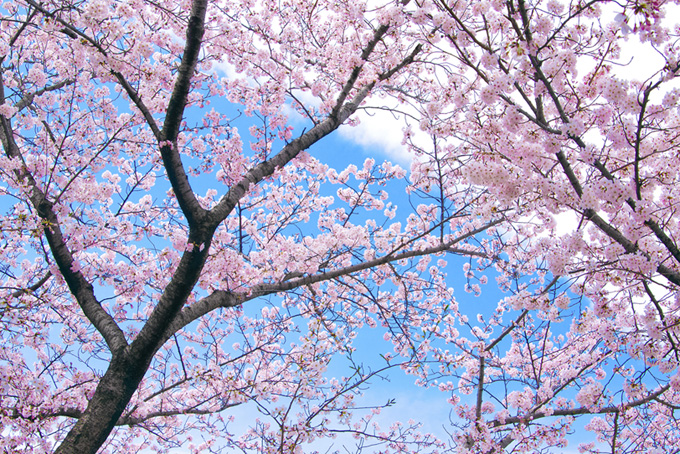 桜木と空の背景(桜 ピンク)