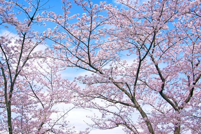 春桜と空の日本景色(桜 壁紙の画像)