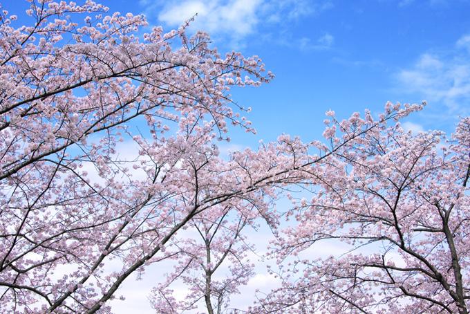 ピンクの桜と清々しい青空(桜 壁紙の画像)