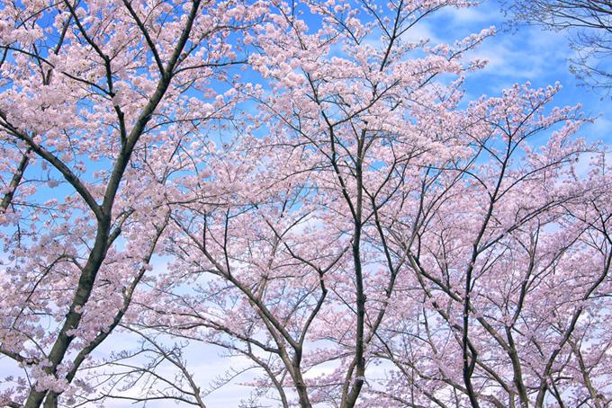 綺麗なピンクの桜並木の画像(桜 壁紙の画像)