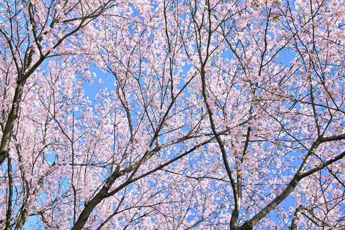 美しい一面の桜景色(桜 壁紙の画像)