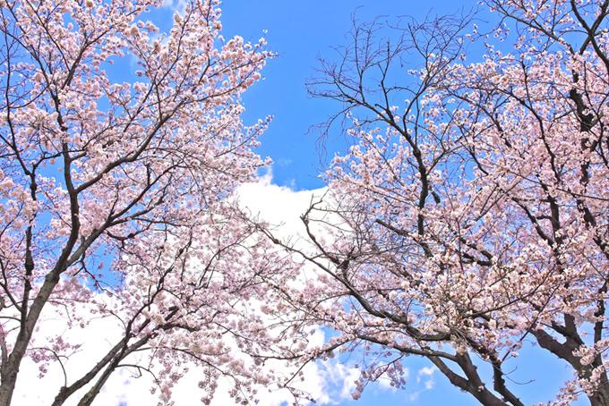 桜木と雲がある空の背景(桜 壁紙の画像)