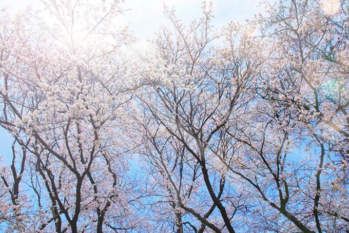 春の木洩れ日の桜風景(桜 太陽の画像)