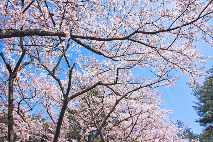 桜の花が咲く春の林(桜 壁紙の画像)