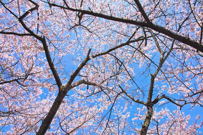 さくらの花と黒い木のシルエット(桜 壁紙の画像)