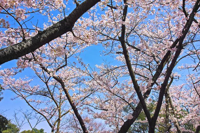 春が訪れた華やかな桜の林(桜 壁紙の画像)