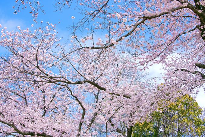 ピンクのサクラと新緑の木(桜 壁紙の画像)