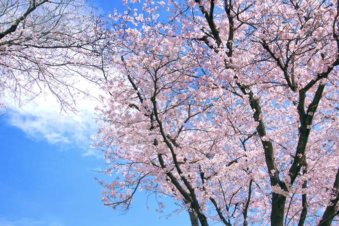 桜と空と雲(桜 壁紙の画像)