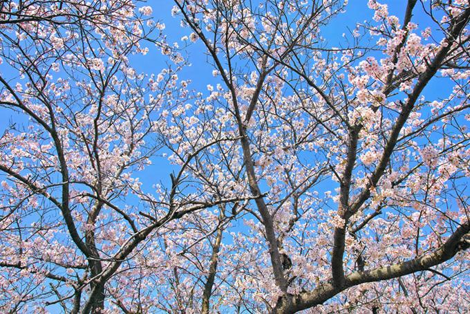花とつぼみが混じる桜(桜 壁紙の画像)