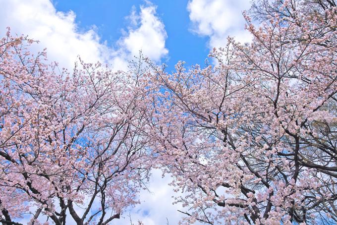 桜と空と白い雲(桜 林の画像)