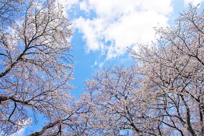 桜並木と雲がかかる空(桜 林の画像)