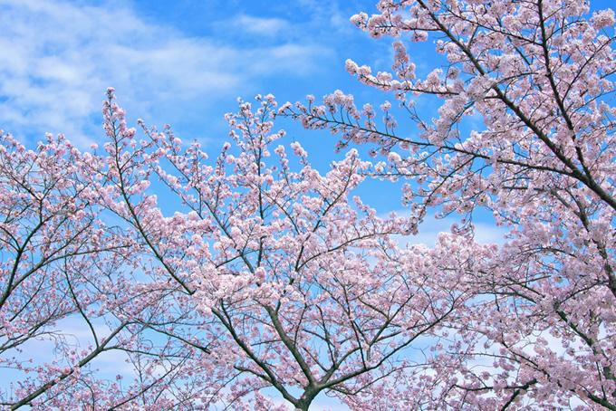 ピンクの花咲く桜(桜 壁紙の画像)