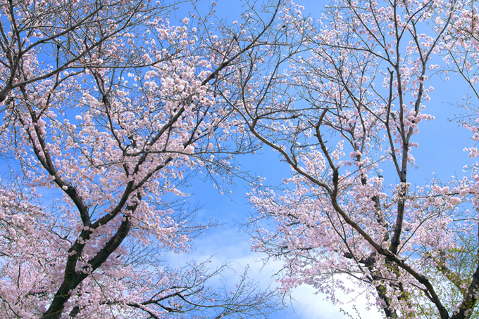 桜と空と雲(桜 景色の背景フリー画像)
