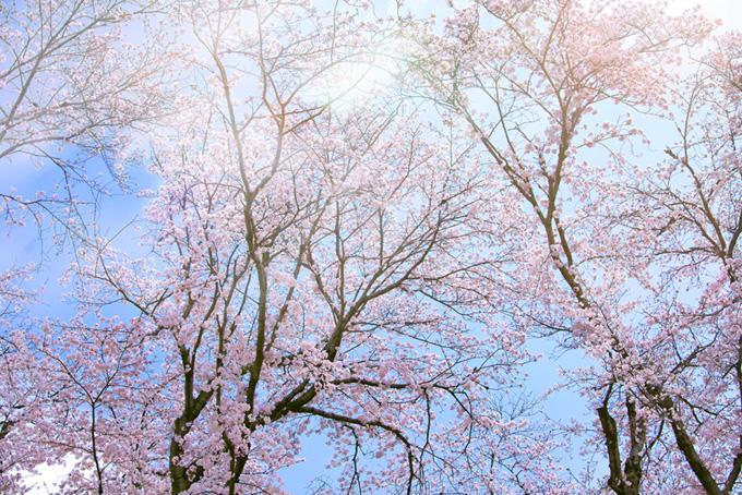 桜咲く美しい日本の風景(桜 綺麗の画像)