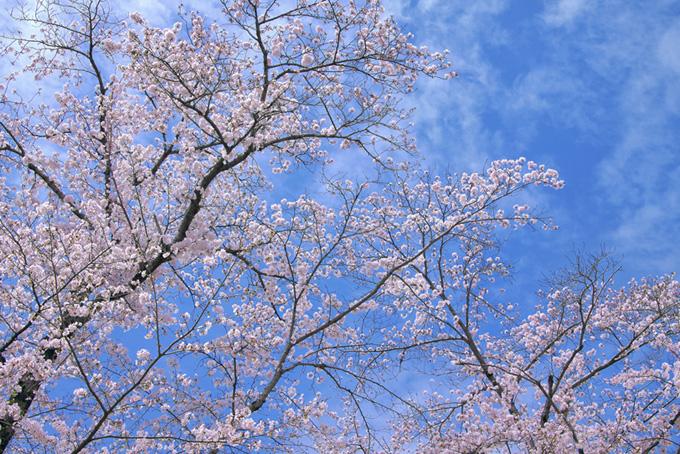 桜と空と雲(桜並木の背景フリー画像)
