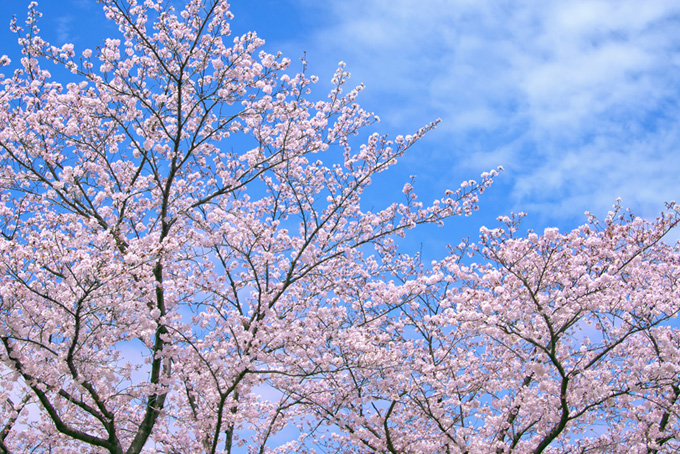 花が咲くサクラと空(桜 雲の画像)