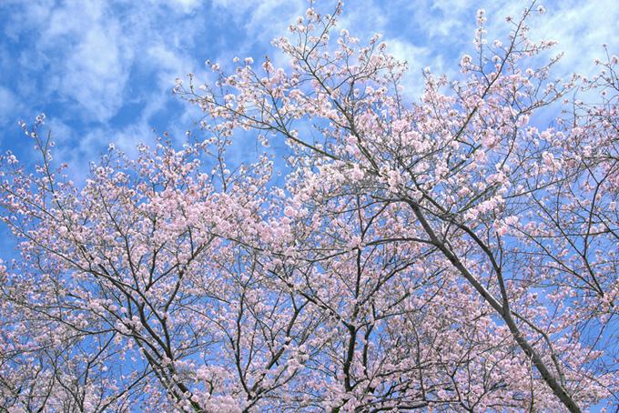 青と白の斑な空と桜(桜 雲の画像)